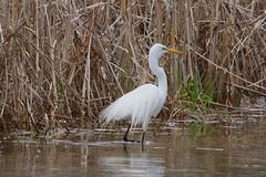 great egret 1 (S. J. Coates Images) Tags: brighton presquile presquileprovincialpark bird egret great