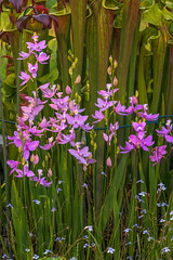 Calopogon tuberosus (Common Grass-pink orchid) (jimf_29605) Tags: calopogontuberosus commongrasspinkorchid wildflowers orchids boggarden greenville southcarolina sony a7rii 90mm