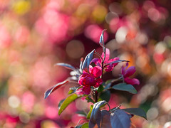 crabapples gfx1321 (DannyBurkPhotography) Tags: crabapple flower spring pink bokeh soft fuji gfx50s contax645 120mmapomakro indiana