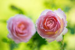 rose 8968 (junjiaoyama) Tags: japan flower plant rose pink spring macro bokeh