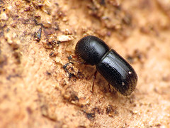 Black Stem Borer (treegrow) Tags: rockcreekpark washingtondc nature lifeonearth raynoxdcr250 arthropoda insect coleoptera beetle xylosandrusgermanus curculionidae
