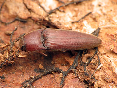 Red Click Beetle (treegrow) Tags: rockcreekpark washingtondc nature lifeonearth raynoxdcr250 arthropoda insect coleoptera beetle elateridae melanotus