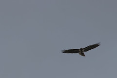 IMG_9767 (armadil) Tags: prairie ranchocorraldetierra bird birds flying hawk hawks raptor raptors rth redtailedhawk