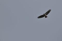 IMG_9769 (armadil) Tags: prairie ranchocorraldetierra bird birds flying hawk hawks raptor raptors rth redtailedhawk