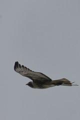 IMG_9780 (armadil) Tags: prairie ranchocorraldetierra bird birds flying hawk hawks raptor raptors rth redtailedhawk