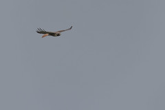 IMG_9788 (armadil) Tags: prairie ranchocorraldetierra bird birds flying hawk hawks raptor raptors rth redtailedhawk