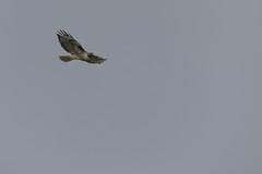 IMG_9792 (armadil) Tags: prairie ranchocorraldetierra bird birds flying hawk hawks raptor raptors rth redtailedhawk