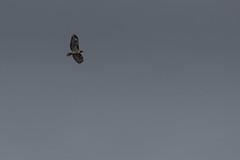 IMG_9833 (armadil) Tags: prairie ranchocorraldetierra bird birds flying hawk hawks raptor raptors rth redtailedhawk