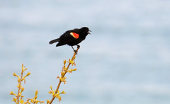 Blackbird Call (imageClear) Tags: bird blackbird sing call redwingedblackbird color nature beauty aperture nikon d500 80400mm imageclear flickr photostream