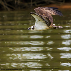 2019.04.06.8664 Osprey in Flight (Brunswick Forge) Tags: 2019 virginia jamesriver richmond osprey water animal animals animalportraits outdoor outdoors bird birds raptor raptors wildlife nature cloudy rain spring nikkor200500mm nikond500 air sky river favorited commented grouped
