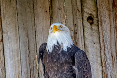"""And Furthermore"" (edhendricks27) Tags: eagle bird wildlife animal nature canon"
