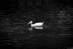 hair style show off (LTL78) Tags: samsungnx30 duck pato parque lake lago