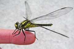 """""""Hello!"""" :) (green_lover (I wait for your COMMENTS!)) Tags: dragonfly insects animals finger nature"""