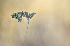 Rising star (donlope1) Tags: macro nature light papillon butterfly machaon insect proxy wild wildlife bokeh