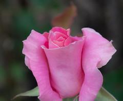 Rose Pretty. (Omygodtom) Tags: tamron90mm macro flower flora abstract nature rose summer simpleflowers d7100 garden lowkey usgs