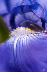 Iris pallida (Sohmi ︎) Tags: sohmi tamronsp90mm nikond810 jardin fleur flower macro ©sohmi extérieur outside irispallida irisdedalmatie iris