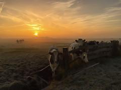 Curious cows! (Jambo53 ()) Tags: dutchwildlife mist fog cows koeien sunrise zonsopkomst netherlands polder crobertkok cow nature nederland holland earlymorning fence hek pool paal magiclight landscape livestock