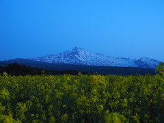 after sunset (murozo) Tags: rape blossom field evening sky mountain mtchokai snow yellow yurihonjo akita japan 菜の花 畑 花 夕方 空 山 黄 雪 由利本荘 秋田 日本 鳥海山