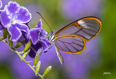 Glasswinged Butterfly (jt893x) Tags: 105mm afsvrmicronikkor105mmf28gifed butterfly clearwing d810 glasswing glasswinged gretaoto insect jt893x macro thesunshinegroup coth alittlebeauty coth5 sunrays5