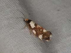 Tineidae sp. (dhobern) Tags: 2019 april australia lamingtonnationalpark lepidoptera queensland tineidae