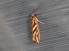 Goboea copiosana (dhobern) Tags: 2019 april australia lamingtonnationalpark lepidoptera queensland tortricidae tortricinae goboeacopiosana