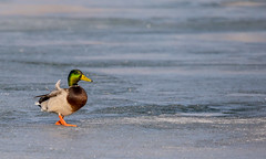 A lonesome duck (ocarmona) Tags: duck ice pond toronto winter 2019 canon 6d sigma 150600mm