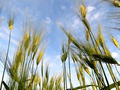 IMG_0090x (gzammarchi) Tags: italia paesaggio natura campagna ravenna lidoadriano alba grano spiga colore verde inalto