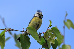 Blue TiT (aledy66) Tags: bedfordshire uk gb wixams blue tit bird eurasian tree sky leaves ef100400mm canon eos 6d 6d2 markii mk2 mkii