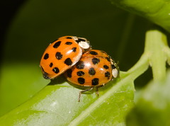 LadybirdIMG_4510 (davholla2002) Tags: lnhm harmoniaaxyridis harlequinladybirds