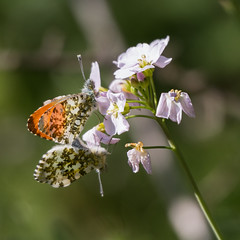 Say it with flowers (DavidHowarthAgain) Tags: oldmoor southyorkshire rspb dearnevalley spring nature april 2019 orangetip butterfly anthochariscardamines