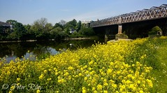 The Railway Bridge at Avenham Park, Preston. (peterileypics) Tags: bridge railway flowers summer sun sunshine river lightroom light green trees reflection grass scenery nature landscape