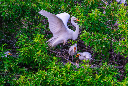 Great Egret with her chicks