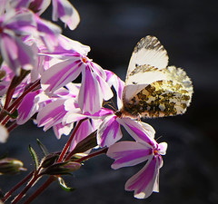 Photo of Female Orange Tip Butterfly
