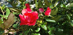 20190515_111238 Roses (Stephenie DeKouadio) Tags: flower flowers roses rose spring summer washingtondc washington columbiaheights columbiaheightsdc dc dcphotos