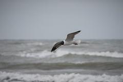 Laughing Gull (Leucophaeus atricilla) (Photo Patty) Tags: laughinggull leucophaeusatricilla southpadreisland