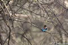 White -throated Kingfisher (MaxLne) Tags: halcyonsmymensis whitethroatedkingfisher kingfisher martinpescatore india ranthambore