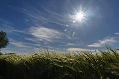 TRIGAL001 (MAVARAS) Tags: mavaras azul blue green verde wheat field luz light sol sun