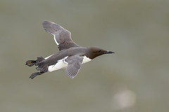Guillemot in flight (keith27a) Tags: birds fauna flight guillemot naturesubjects nikon d850 sigma 500mm f4 sport