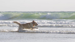 Ocean Dog (Cyril Ribault) Tags: tamronaf18200mmf3563xrdiiildasphericalif tamron pentax kr ocean chien dog plage mer vague atlantiqu pentaxart