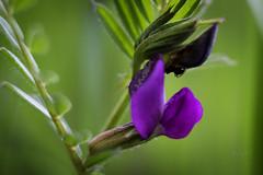 Frühlings-Platterbse (Lathyrus vernus) (seyf\ART) Tags: violett purple pink flower blüten blumen frühling springtime makro macro pancolar1850 oldlens natur nature bokeh