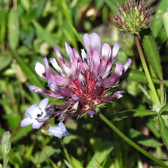 Tomcat Clover--Trifolium willdenovii (Polioptila caerulea) Tags: tomcatclover clover trifoliumwilldenovii trifolium tablemountain buttecounty california
