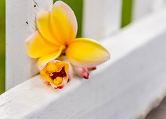 Fence Accent (risaclics) Tags: fancy fence smile saturday 60mmmacro frangipani may2019 nikond610d red alpiniazerumbet flora flowers orange yellow fancyfence smileonsaturday gingerblossom