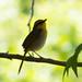 Rufous-capped Warbler (male) | Hunter Canyon | Sierra Vista | AZ|2018-05-25|09-03-45
