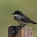 Eastern Kingbird | Pawnee National Grasslands | CO|2018-06-07|10-13-55-2