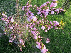 In bloom (creed_400) Tags: may spring belmont west michigan flowering almond