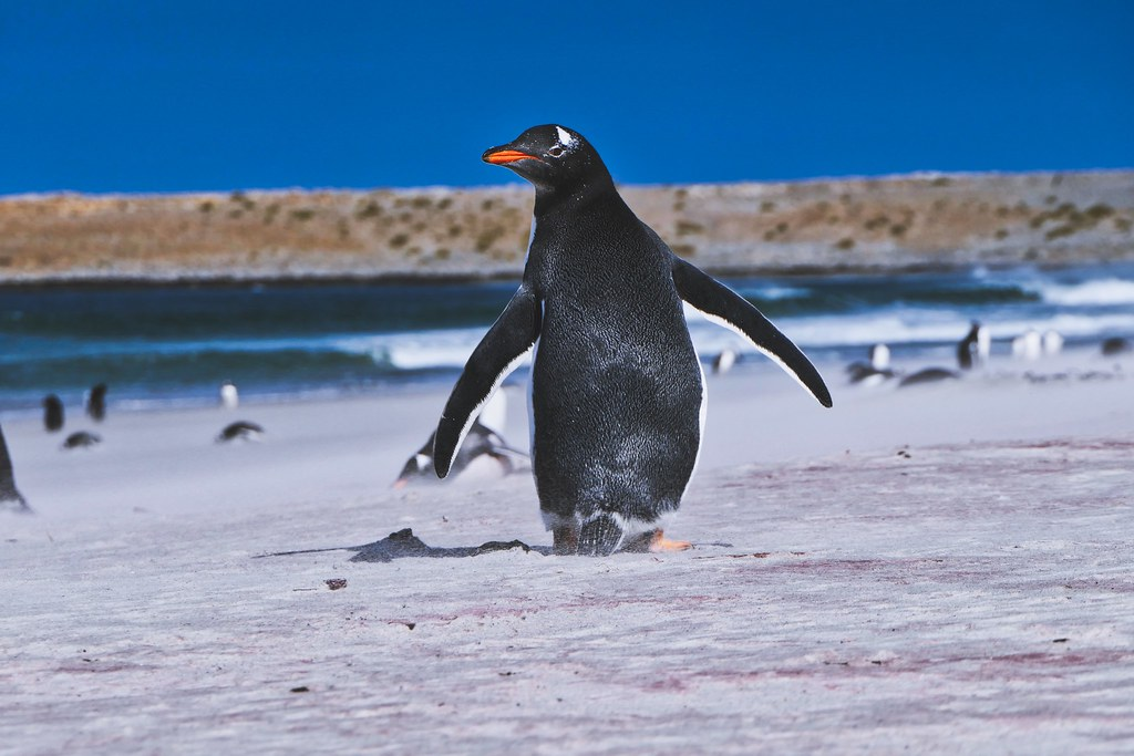 Penguin with rock and beach