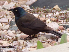 Common grackle (Quiscalus quiscula) (tigerbeatlefreak) Tags: common grackle quiscalus quiscula bird passeriformes icteridae nebraska