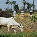 Cow Grazing Near Temples, Bagan Myanmar