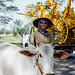 Farmer Walking Cow Down Road, Myanmar