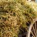 Farmer's Cart Full of Chick Peas, Myanmar